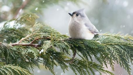 tufted-titmouse